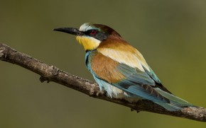 Picture European bee-eater, branch, birds