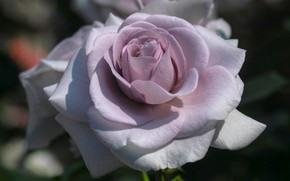 Picture macro, rose, flowering
