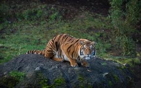 Wallpaper striped, predator, tiger