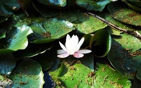 Wallpaper white, leaves, Lotus