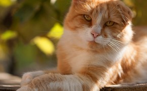 Picture cat, cat, look, face, light, nature, pose, glare, background, Board, paw, portrait, red