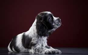 Picture puppy, Spaniel, spotted