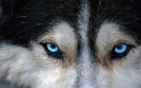Picture eyes, look, dog, husky