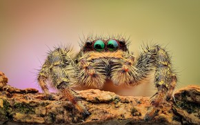 Picture eyes, macro, background, spider