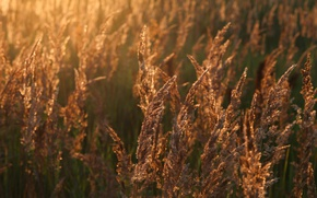Picture wheat, field, the sun, joy, nature, mood, dawn, morning, bread, ears, Russia, the sun's rays, ...