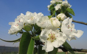 Picture the sky, pear, blooms, spring 2018, Mamala ©