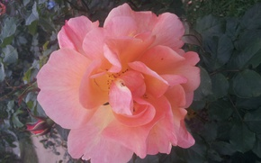 Picture Rose, Flower, Leaves