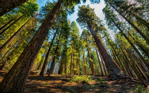 Wallpaper Trees, Park, USA, Sequoia, National Park, Sequoia and Kings
