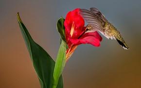 Wallpaper flower, nature, Hummingbird, Montenegro archilochus