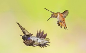 Picture birds, wings, beak, Montenegro archilochus, Buffy Hummingbird