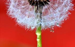 Wallpaper drops, flower, blade of grass, dandelion