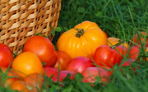 Picture autumn, harvest, tomatoes, tomatoes, vitamins, delicious, cottage