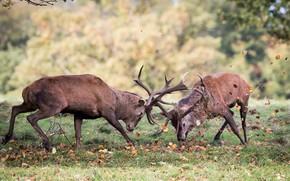 Picture fight, duel, deer