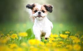 Picture flowers, mood, dog, meadow, walk, dandelions, bokeh, doggie, Shih Tzu