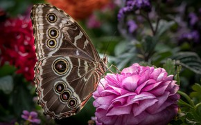 Picture butterfly, wings, Ranunculus