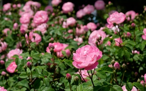 Picture pink, roses, buds