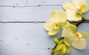 Picture yellow, Orchid, flowers, orchid