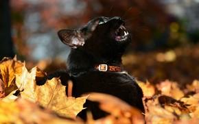 Picture black cat, autumn leaves, meows, blur bokeh