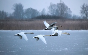 Picture winter, lake, white, swans, fly