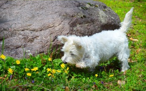 Picture Nature, Spring, Dog, Flowers, Flowers, Spring, Buttercups, The West highland white Terrier