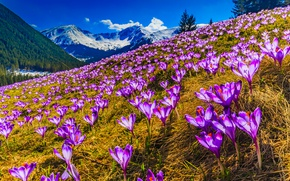 Wallpaper forest, grass, the sun, spring, lilac, trees, snow, crocuses, purple, slope, mountains