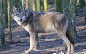 Picture predator, wool, European wolf