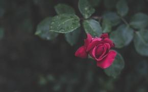 Wallpaper leaves, drops, rose, petals, bokeh