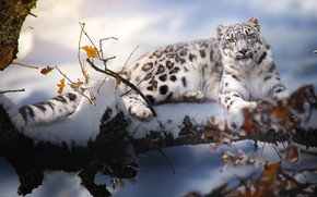 Picture winter, snow, branches, nature, animal, predator, IRBIS, bars, Thai Phung