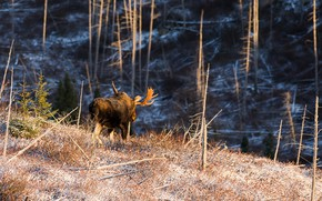 Picture forest, Canada, horns, moose