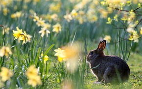 Picture flowers, hare, spring, daffodils