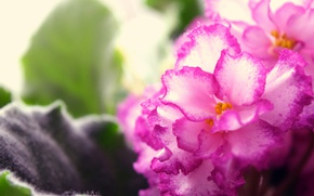 Picture macro, flowers, pink, widescreen, violet