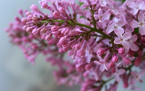 Picture spring, lilac, the color purple, lilac blossoms
