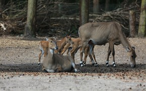 Picture Nature, Germany, Park, Nilgauantilope