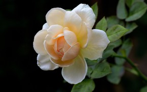 Picture flower, background, rose, Bud