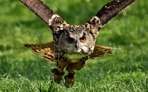 Picture flight, bird, Owl