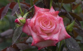 Picture drops, pink, rose, buds