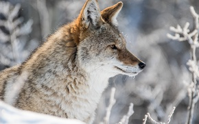 Picture winter, snow, portrait, profile, coyote, meadow wolf
