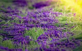 Wallpaper lavender, harvest, flowers, sunlight