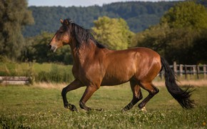 Picture summer, movement, horse, horse, power, running, grace, corral, gallop, chestnut