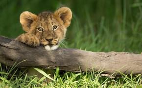 Picture grass, look, branch, lion, little lion