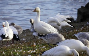 Picture pack, Birds, geese