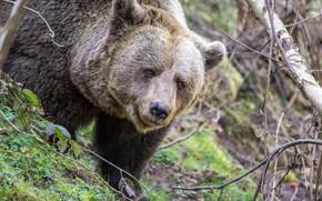 Picture predator, bear, large, brown