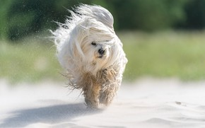 Picture sand, dog, The Havanese, shaggy