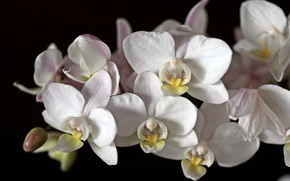 Picture macro, white, Orchid