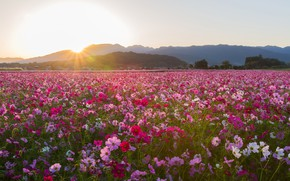 Picture field, the sky, the sun, rays, landscape, flowers, mountains, dawn, kosmeya
