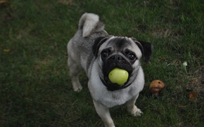 Picture grass, look, green, Apple, dog, pug
