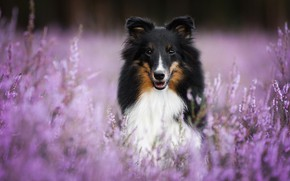 Picture dog, bokeh, Sheltie, Heather, Shetland Sheepdog