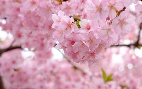 Wallpaper branches, cherry, tree, spring, Sakura