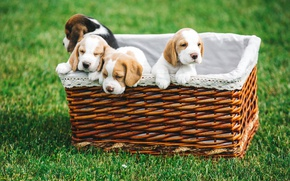 Picture basket, puppies, Beagle