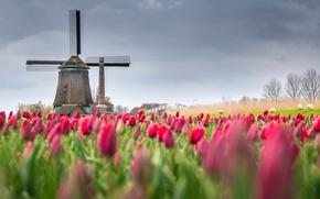 Wallpaper spring, field, tulips, Netherlands, flowers